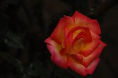 古都の秋バラ…1