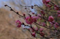 新春の古刹 妙本寺の紅梅…2