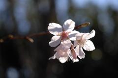 花園の薄桜色…