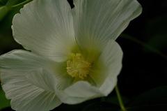 初秋の白麗花…