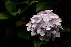 禅寺の梅雨花…