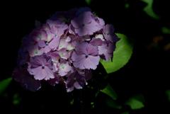 古都の色変花…12