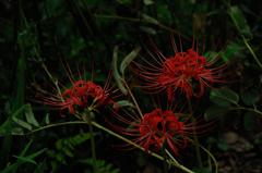 古刹の妖麗花…2