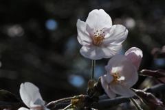 古刹の輝花…1