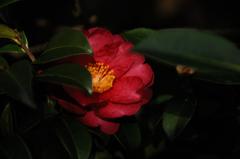 葉隠の赤花…
