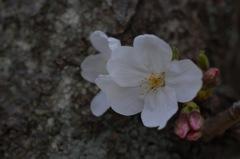 春に仄かな桜色…2
