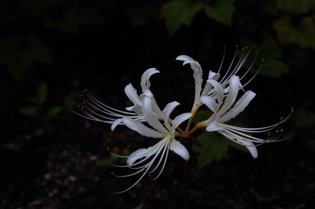 柳眉の白蕊…