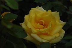 古都の秋バラ…2
