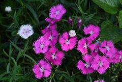 明月院の春花…1