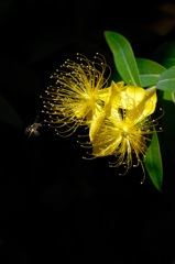 梅雨晴の黄金花…2