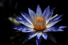 熱帯の群青花…