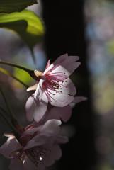 古都の早咲桜…4