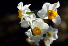 新春の白弁…2
