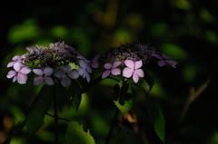 古都の色変花…4