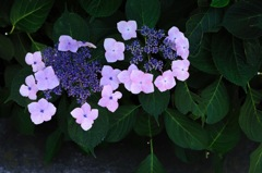 古都の七変花…7
