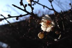 冬光に映える白梅…2