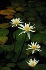 揃い咲き白睡蓮…