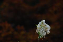 盛夏に咲く…3