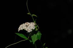 炎天の白小花…