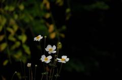 名刹の秋明菊…3