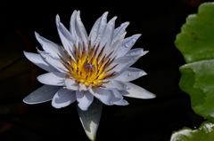 水面の涼色花…