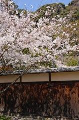 古刹に揺れる桜影…