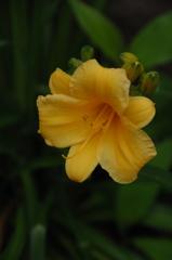 絢爛に咲く忘れ草…2