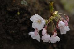 薄光に映る桜色…