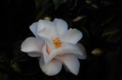 春来の白椿…