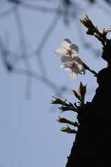 陽に透ける薄桜色…