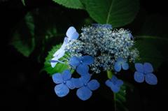 木陰の七色花…3