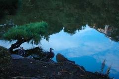 映る青空と鴨…