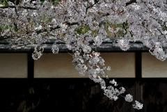 古都の薄桜色…5