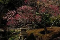 古庭の咲き揃い…