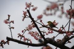 鎌倉・古刹のメジロ…1