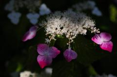 木陰の七色花…1