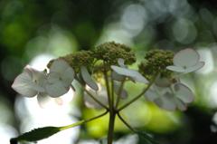 古都の色変花…6