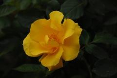 古都の秋バラ…8