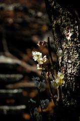 春香の白弁…1