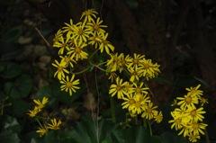 秋の黄金色…1