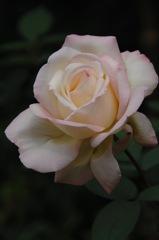 古都の秋バラ…4