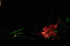 幽玄の赤花…2
