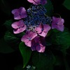 源氏山の梅雨花…3
