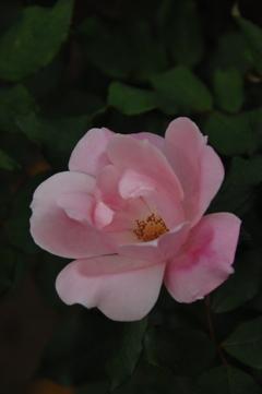 古都の秋バラ…11