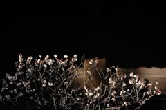 寒中の白花…1