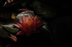 水面の艶花…1