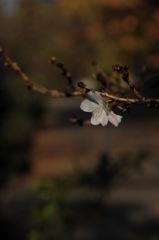 晩秋の白弁…