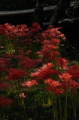 幽玄の赤花…1