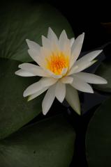残夏の水麗花…2
