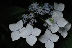 古都の色変花…13